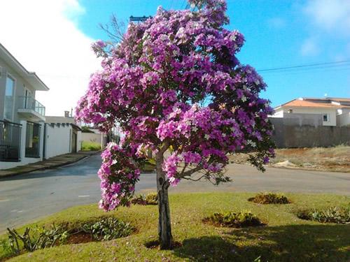 arvore manaca jardim:Árvores para Calçadas de Pequeno Porte – Espirradeira e Flores
