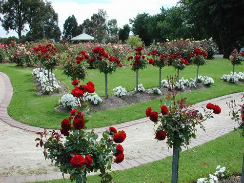 Rosas para Jardins  Orquídeas e Mudas  Decoração